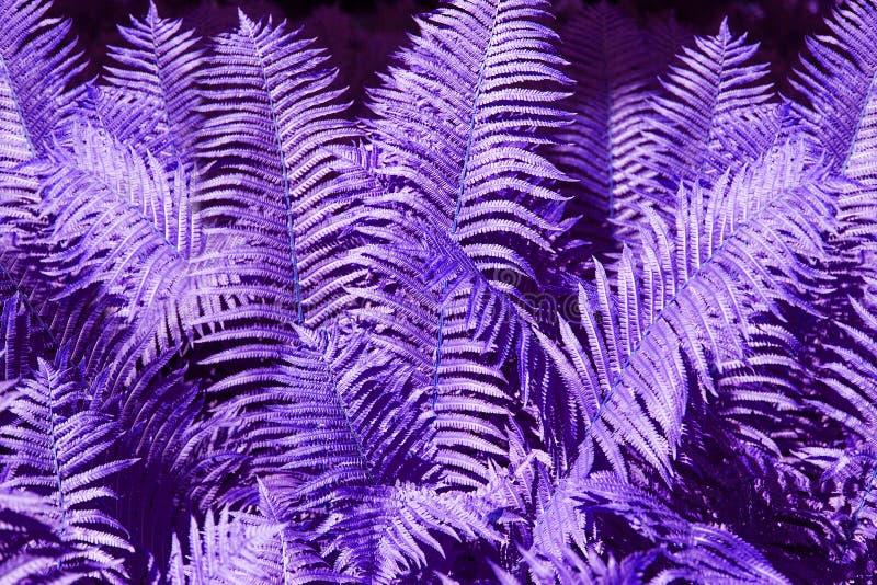 La felce porpora astratta lascia la fine del fondo su, struttura viola fantastica del fogliame della felce aquilina di colore, fo fotografie stock