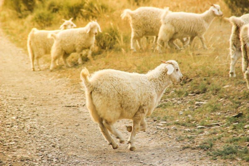 La feliz oveja juguetona salta a través del campo en un verano soleado foto de archivo