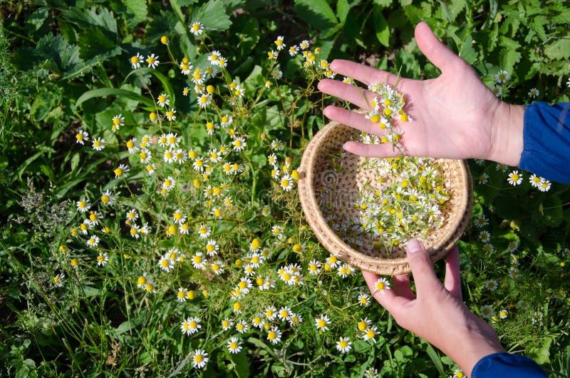 La femelle cueillent à la main des fleurs de fleur d'herbe de camomille photo stock