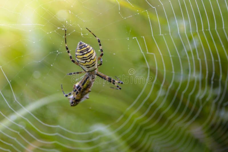 La femelle de l'araign?e-gu?pe s'assied dans la toile d'araign?e avec sa proie image libre de droits