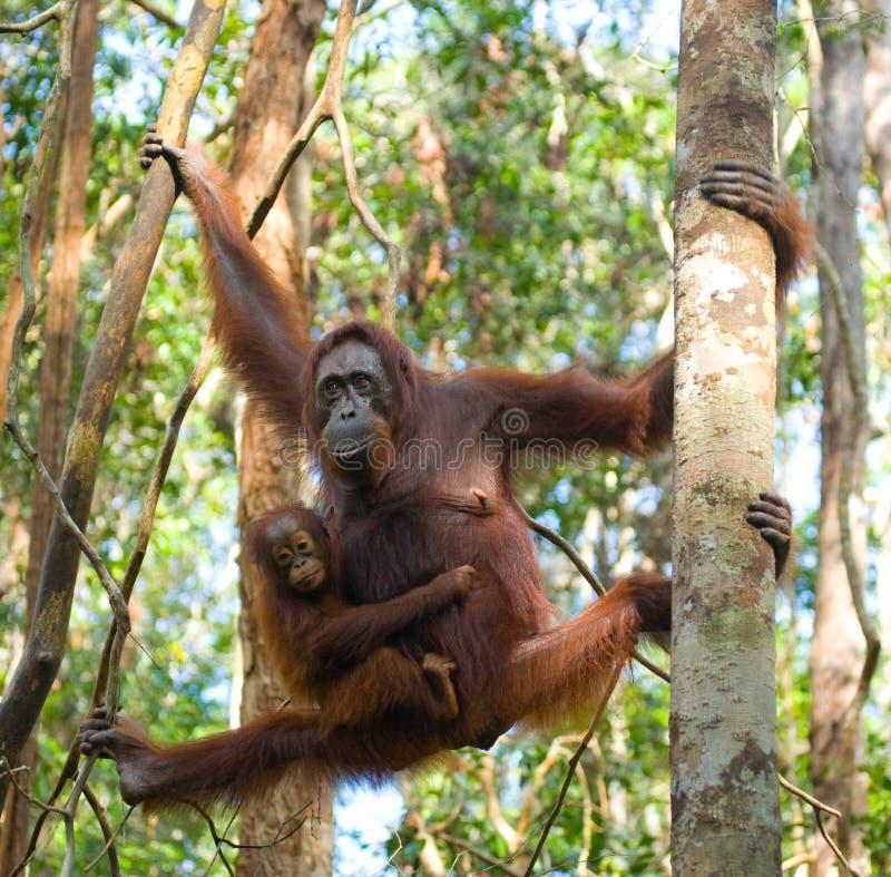 La femelle de l'orang-outan avec un bébé dans un arbre l'indonésie photos stock