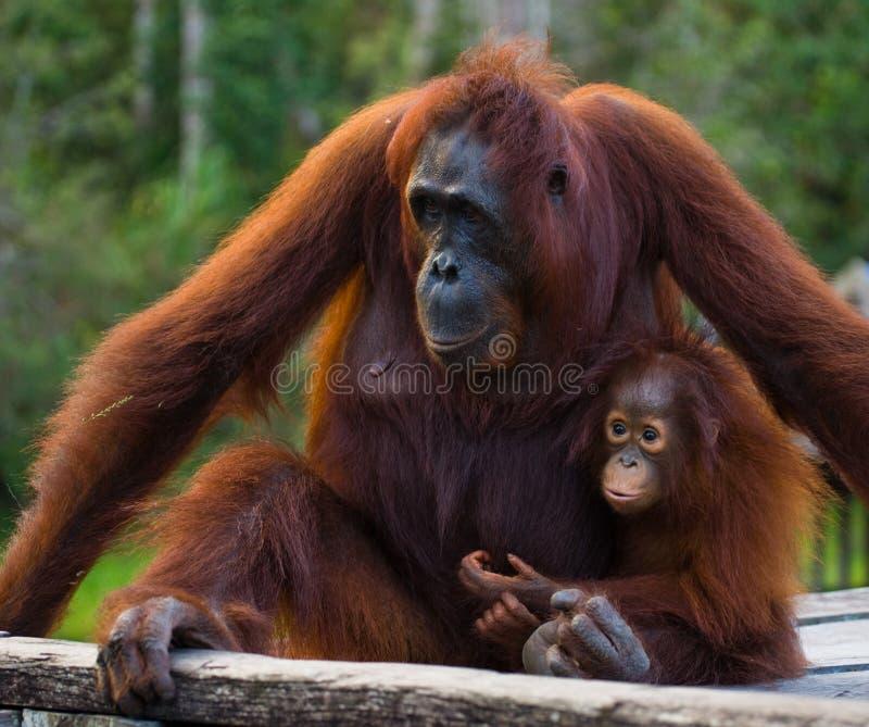 La femelle de l'orang-outan avec un bébé s'asseyant sur une plate-forme en bois dans la jungle l'indonésie L'île du Bornéo Kalima photo stock