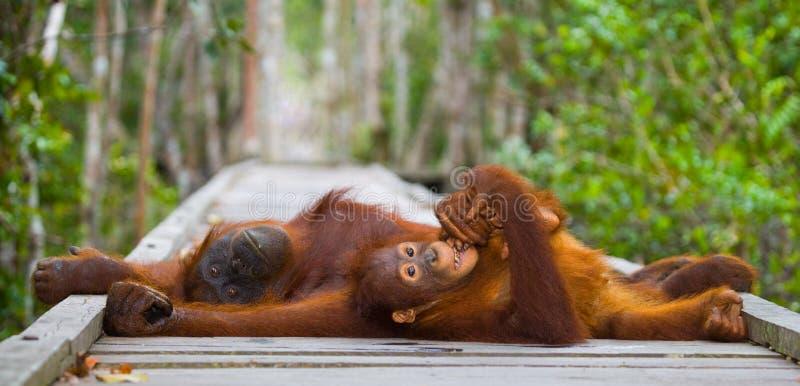 La femelle de l'orang-outan avec un bébé se trouvant sur une plate-forme en bois dans la jungle l'indonésie L'île du Bornéo Kalim images stock
