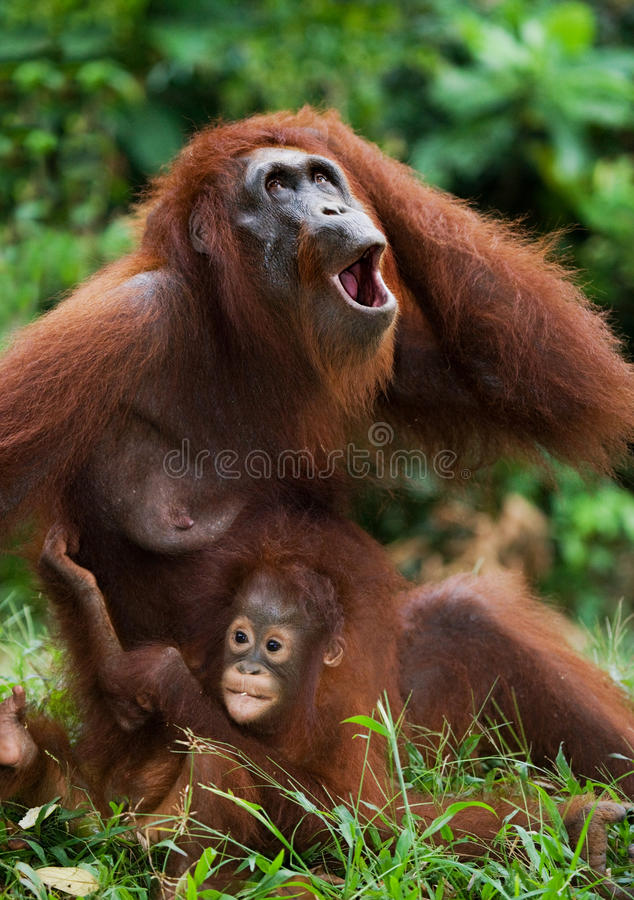 La femelle de l'orang-outan avec un bébé sur la terre l'indonésie L'île de Kalimantan Bornéo image stock