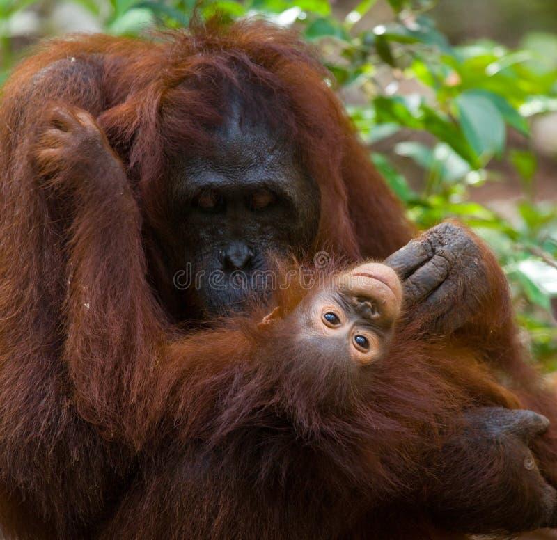 La femelle de l'orang-outan avec un bébé sur la terre l'indonésie L'île de Kalimantan Bornéo photos stock