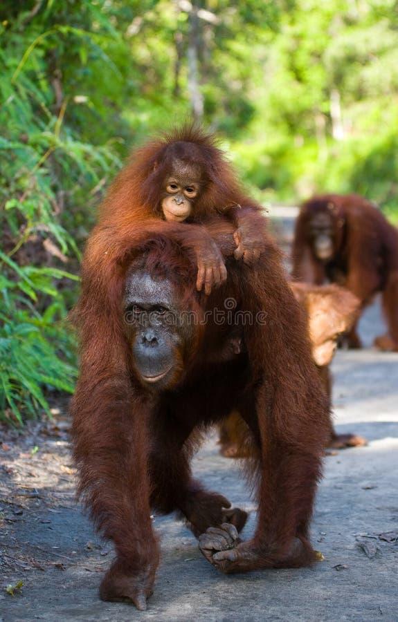 La femelle de l'orang-outan avec un bébé sur la terre l'indonésie L'île de Kalimantan Bornéo photo stock