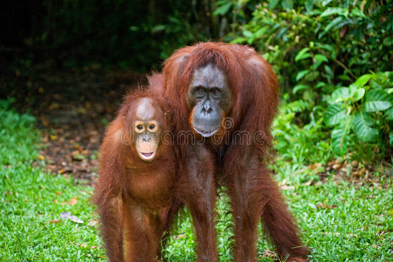 La femelle de l'orang-outan avec un bébé sur la terre l'indonésie L'île de Kalimantan Bornéo photo libre de droits