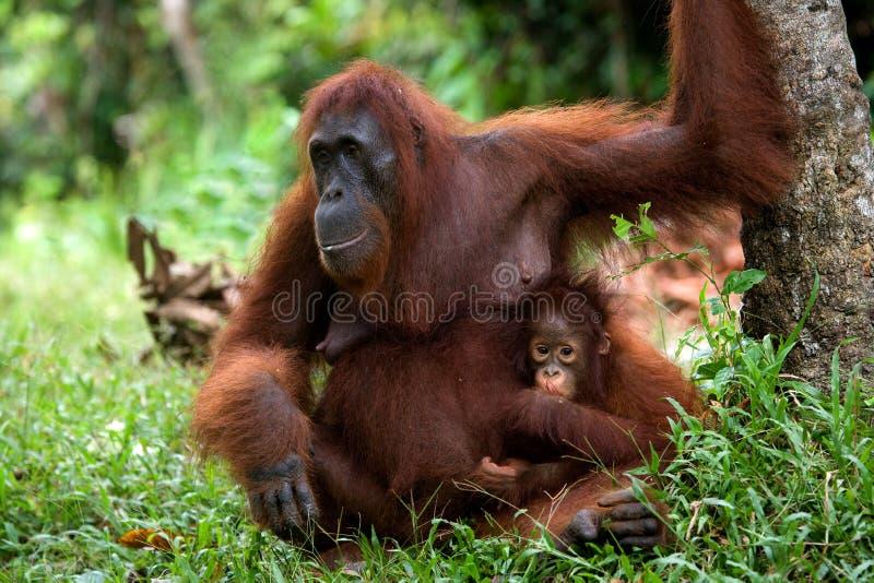 La femelle de l'orang-outan avec un bébé sur la terre l'indonésie L'île de Kalimantan et de x28 ; Borneo& x29 ; photographie stock