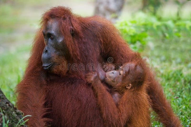 La femelle de l'orang-outan avec un bébé sur la terre l'indonésie L'île de Kalimantan et de x28 ; Borneo& x29 ; images stock