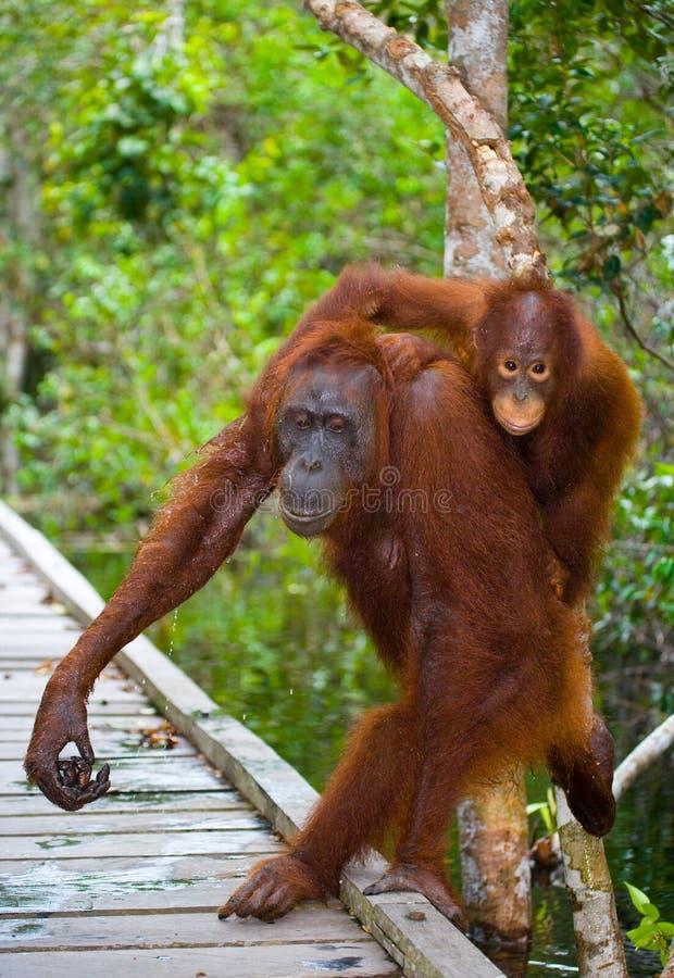 La femelle de l'orang-outan avec un bébé vont sur un pont en bois dans la jungle l'indonésie L'île de Kalimantan Bornéo photographie stock