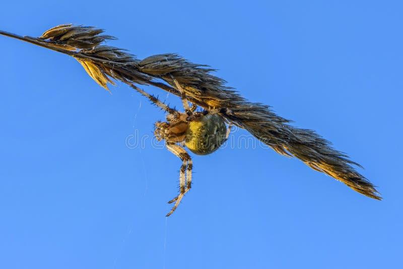 La femelle du quadratus d'araneus tisse un Web sur une tige mince sèche image libre de droits