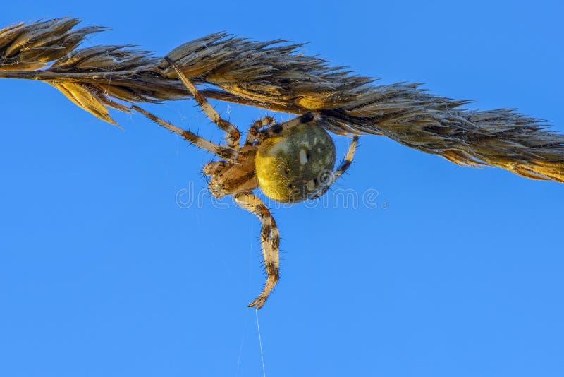 La femelle du quadratus d'araneus tisse un Web sur une tige mince s?che image libre de droits