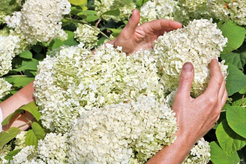La femme agée - les sélections d'agriculteur et le soin de l'hortensia font du jardinage photographie stock libre de droits