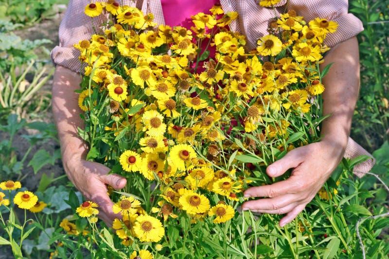 La femme agée - sélections d'agriculteur et soin des marguerites jaunes GA photographie stock