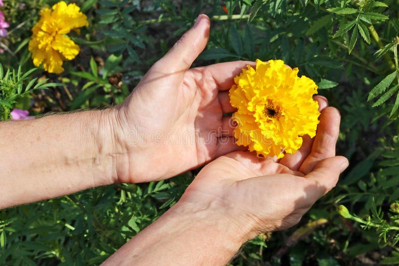 La femme agée - sélections d'agriculteur et soin du jardin y de souci photos libres de droits