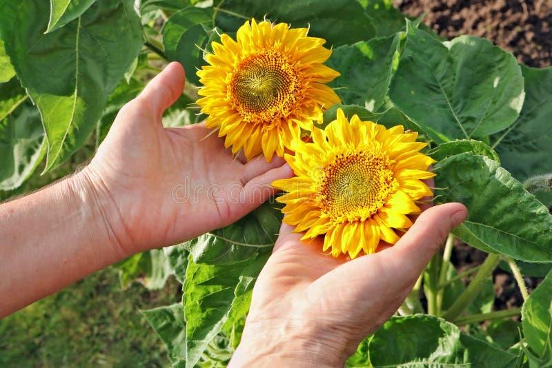 La femme agée - sélections d'agriculteur et soin du soleil jaune de jardin photos libres de droits