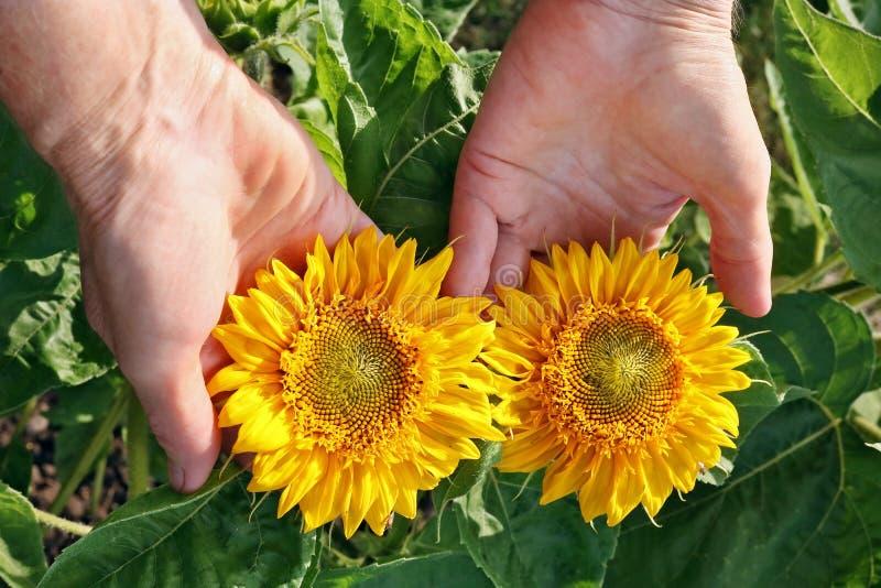 La femme agée - sélections d'agriculteur et soin du soleil jaune de jardin image stock