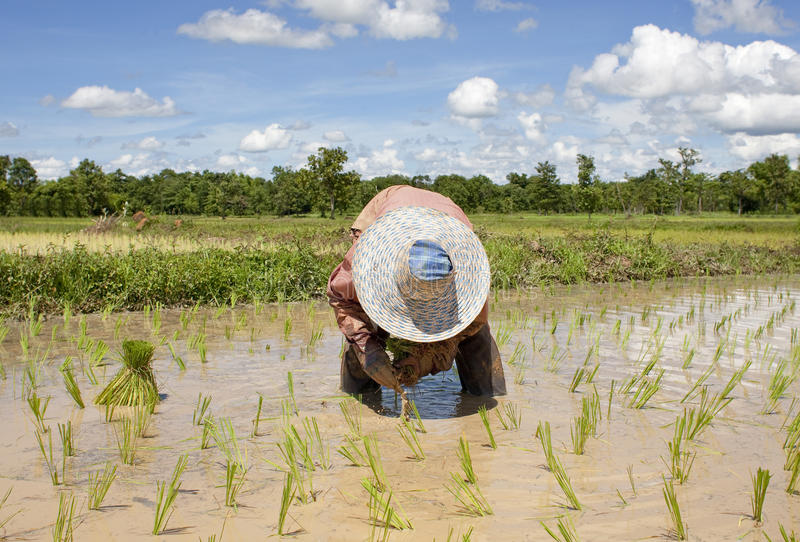 La femme asiatique travaille au gisement de riz photos stock
