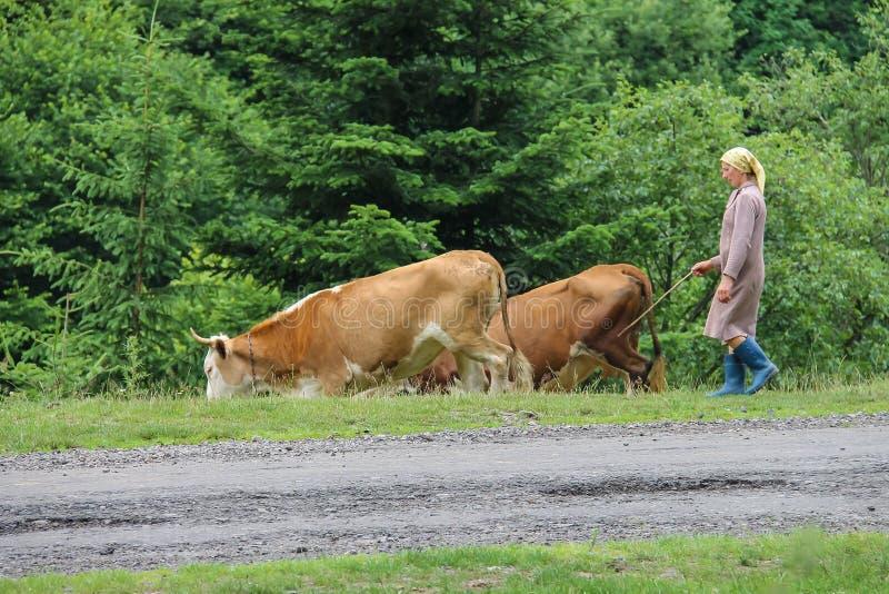 La femme de berger frôle des vaches dans Schodnica, Ukraine image libre de droits