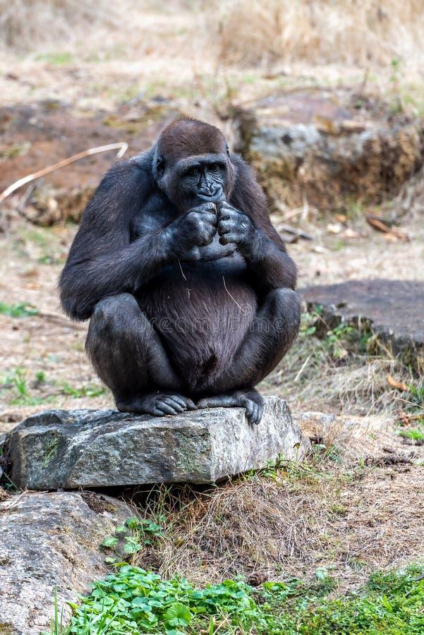 La femme de gorille attend la nourriture sur une pierre photo stock