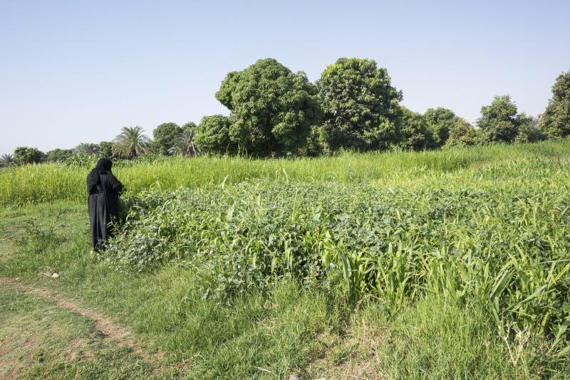 La femme de Nubian prenant l'usine part, banque du Nil photos libres de droits