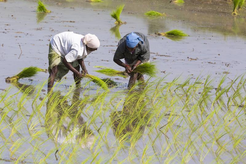 La femme indienne non identifiée d'agriculteur travaille dans l'Indien du sud Tamil Nadu image stock