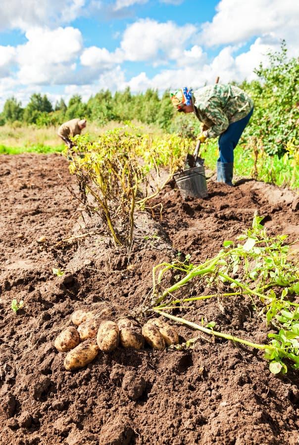 La femme a moissonné la pomme de terre au champ dans le village russe image libre de droits