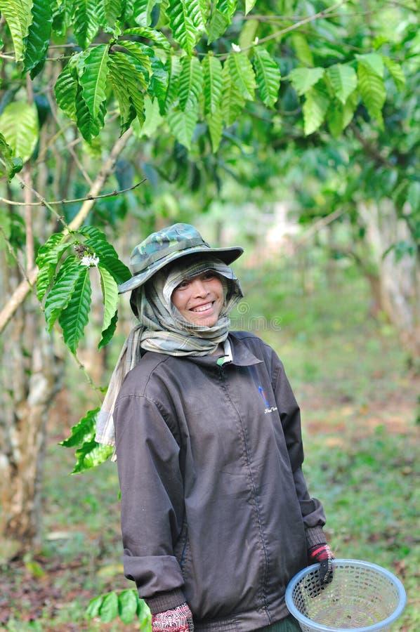 La femme moissonne des baies de café image libre de droits