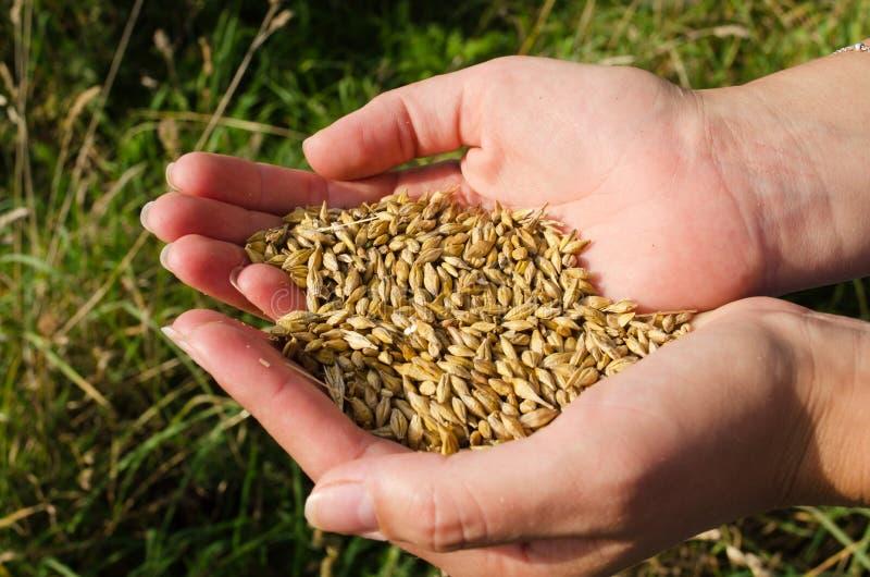 La femme remet à récolte l'automne mûr de texture de céréale de blé image stock