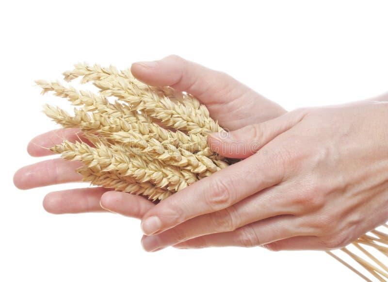 La femme remet le blé de fixation images libres de droits