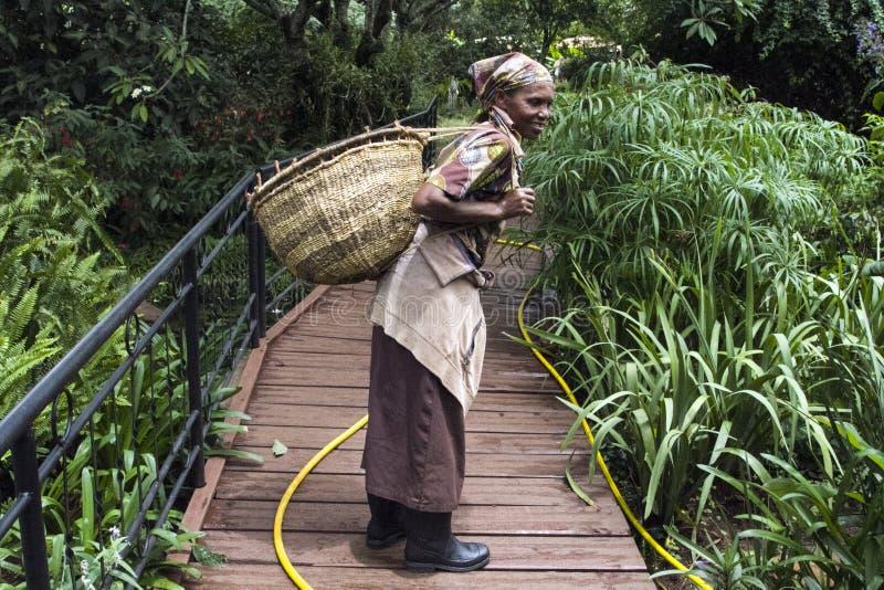 La femme tanzanienne travaille dans la ferme de café et le panier de transport photos libres de droits