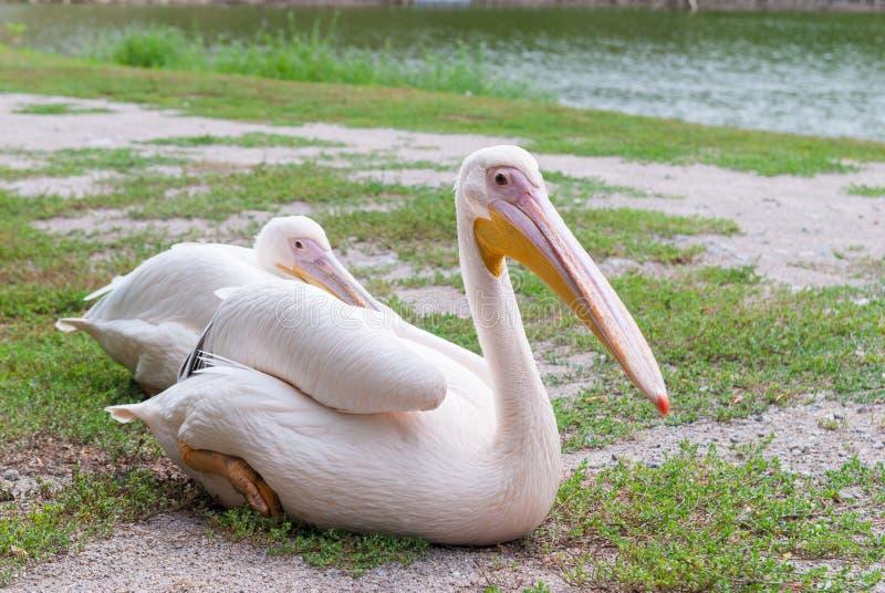 La femmina ed il pellicano maschio fotografia stock libera da diritti