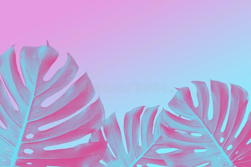 La fente tropicale pousse des feuilles des usines de philodendron sur le fond ultra-violet, rose et bleu de duotone, conception à images stock