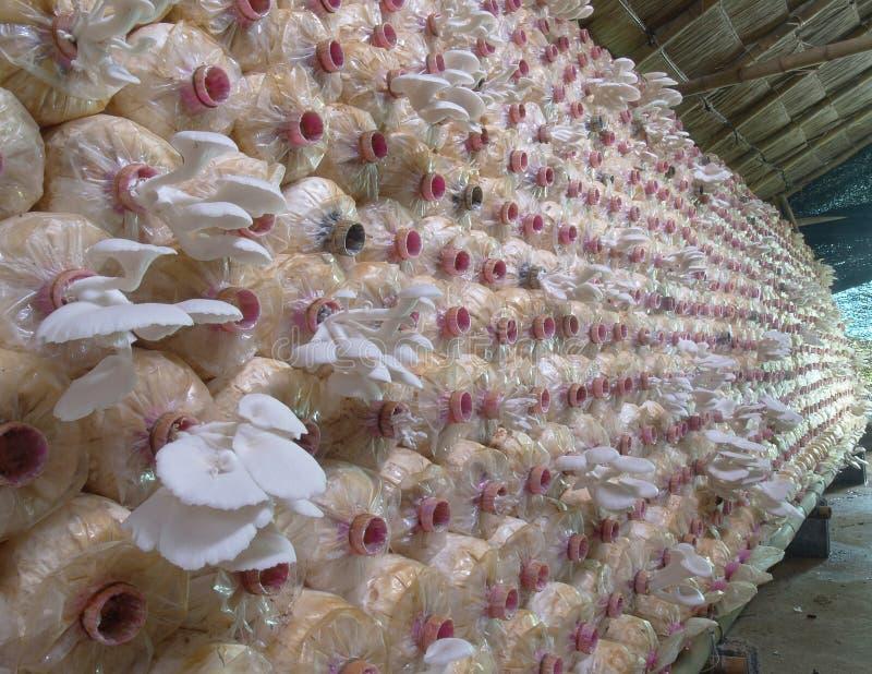La ferme de champignon d'huître photos libres de droits