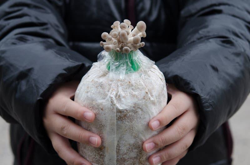 La ferme de champignon d'huître images libres de droits