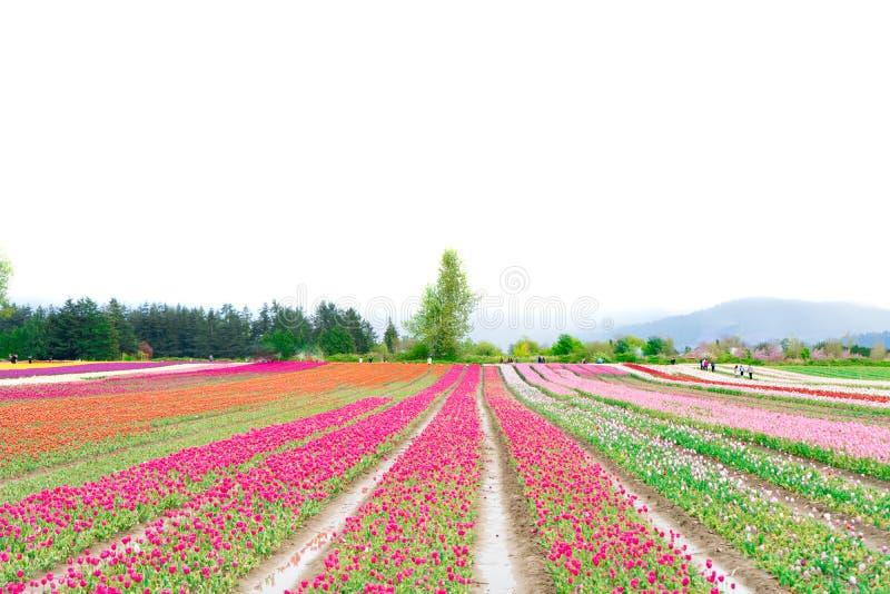 La ferme de fleur avec un champ des tulipes, s'ouvrent comme attraction touristique Dépeint le tourisme d'agriculture et la cultu photographie stock