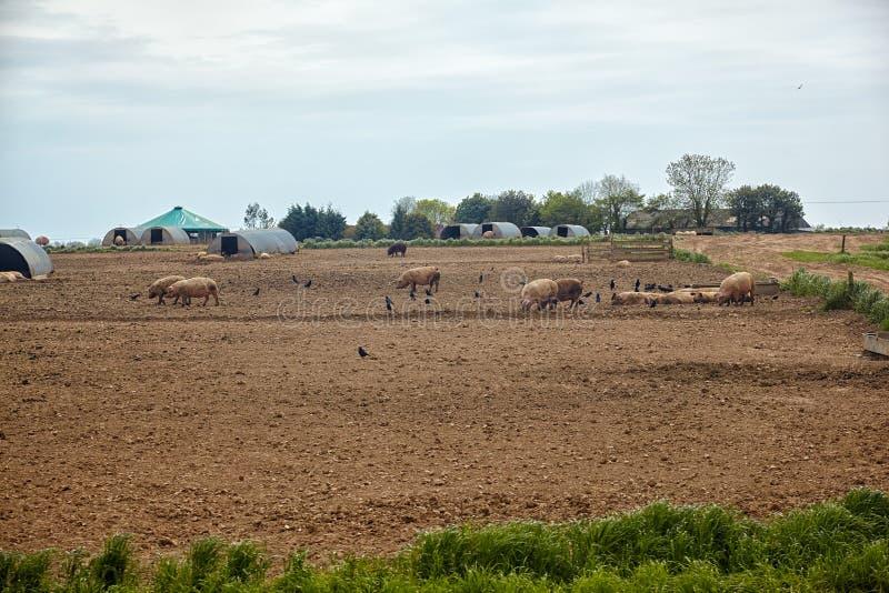 La ferme de porc en Devon l'angleterre photographie stock libre de droits