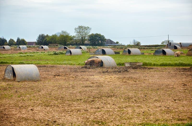 La ferme de porc en Devon l'angleterre images libres de droits