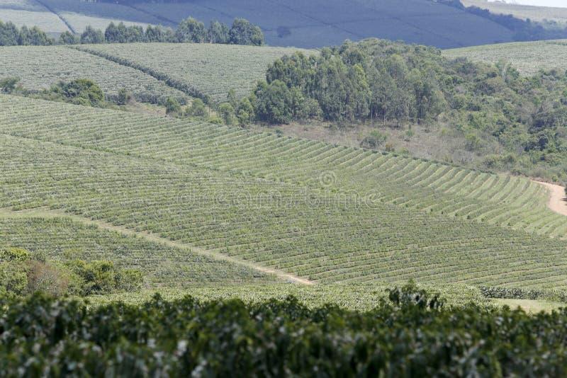 La ferme a fleuri la plantation de café au Brésil image libre de droits