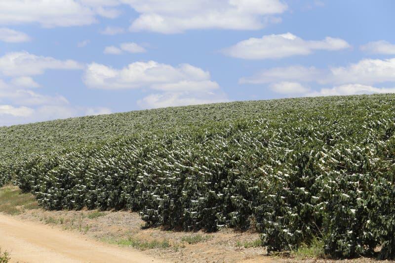 La ferme a fleuri la plantation de café au Brésil photo stock