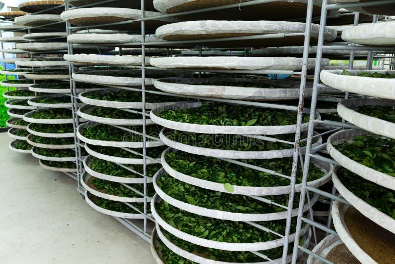 La fermentation du thé photos libres de droits
