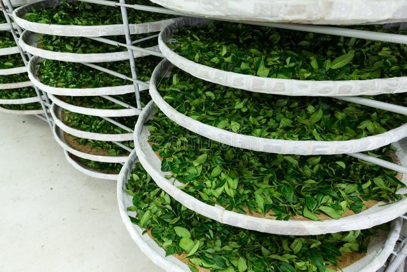 La fermentazione di tè immagini stock libere da diritti