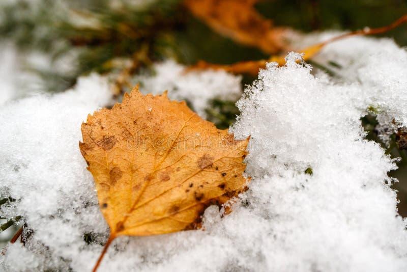 La feuille de bouleau jaune d'automne est tombée sur une branche neigeuse de pin, une neige fraîche et des feuilles tombées image stock