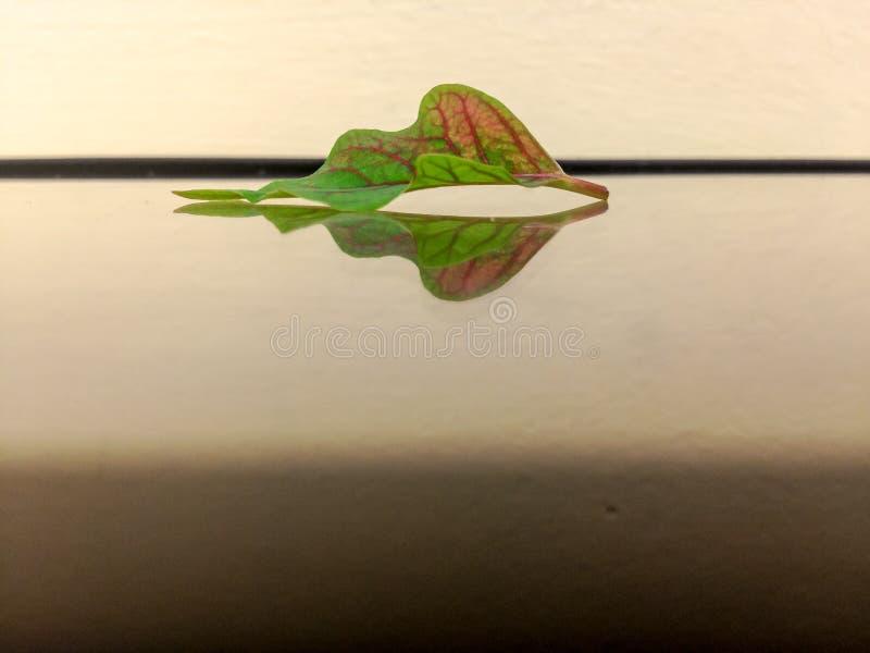 La feuille de la poinsettia sur un miroir image libre de droits