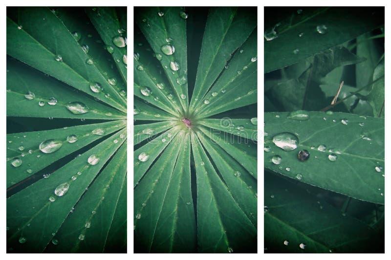 La feuille de lupin avec de l'eau se laisse tomber là-dessus Fond vert normal Triptyque pour le décor à la maison image stock