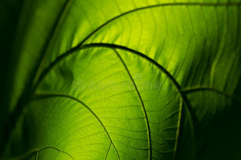 La feuille de vert de nature de plan rapproché enroulent la texture pour le fond abstrait photos stock