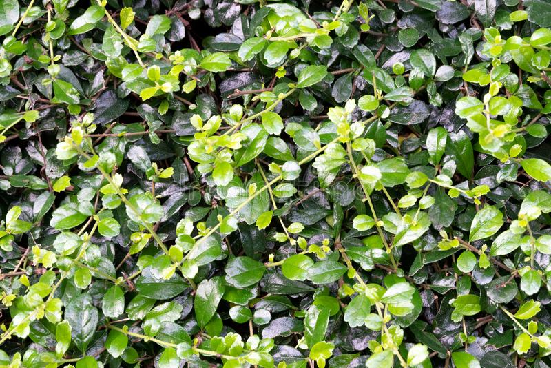 La feuille tropicale, vert naturel de jungle part du fond floral de modèle photo libre de droits