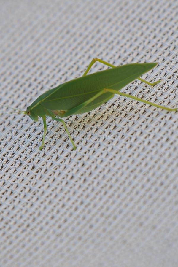 La feuille verte de sauterelle aiment l'insecte avec des veines photo libre de droits