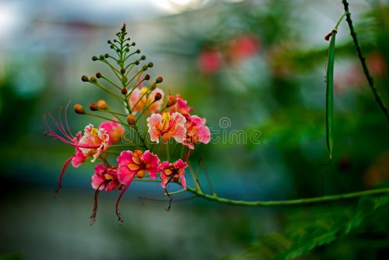 La fierté de l'usine de Pulcherrima de Caesalpinia de Barbade fleurit, en Barbade photo stock