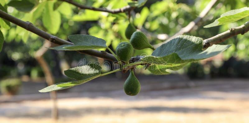la figue croissante porte des fruits sur des branches d 39 un figuier photo stock image du. Black Bedroom Furniture Sets. Home Design Ideas